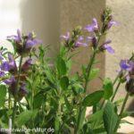 Salbei gehört zu den bienenfreundlichen Kräutern.