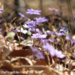 Diese Leberblümchen wachsen in einem kleinen Waldstück an der Saale-Horizontale über Jena-Zwätzen.