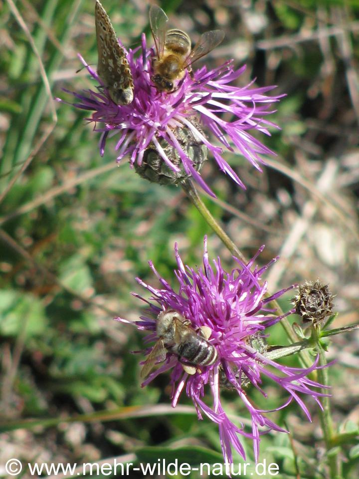 drei verschiedene Blütenbesucher an der Flockenblume