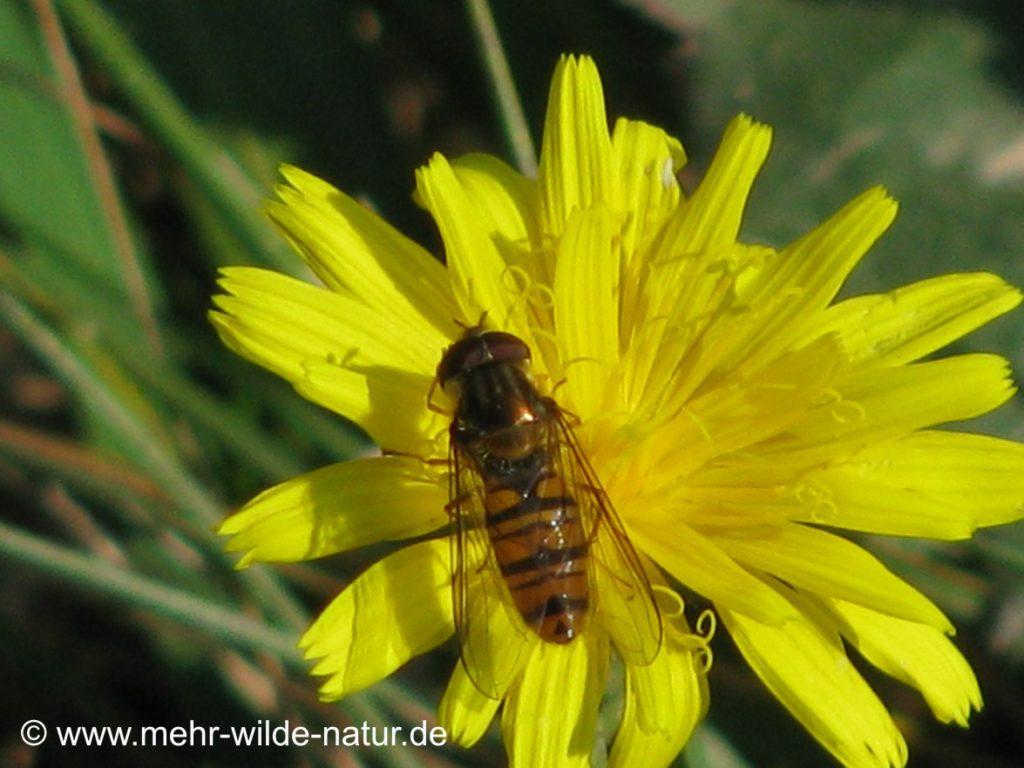 Eine Schwebfliege auf einer Blüte des Wiesenpippaus oder Ferkelkrauts.