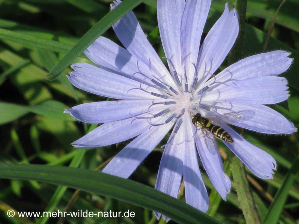Eine Schwebfliege besucht die Blüte der Wegwarte