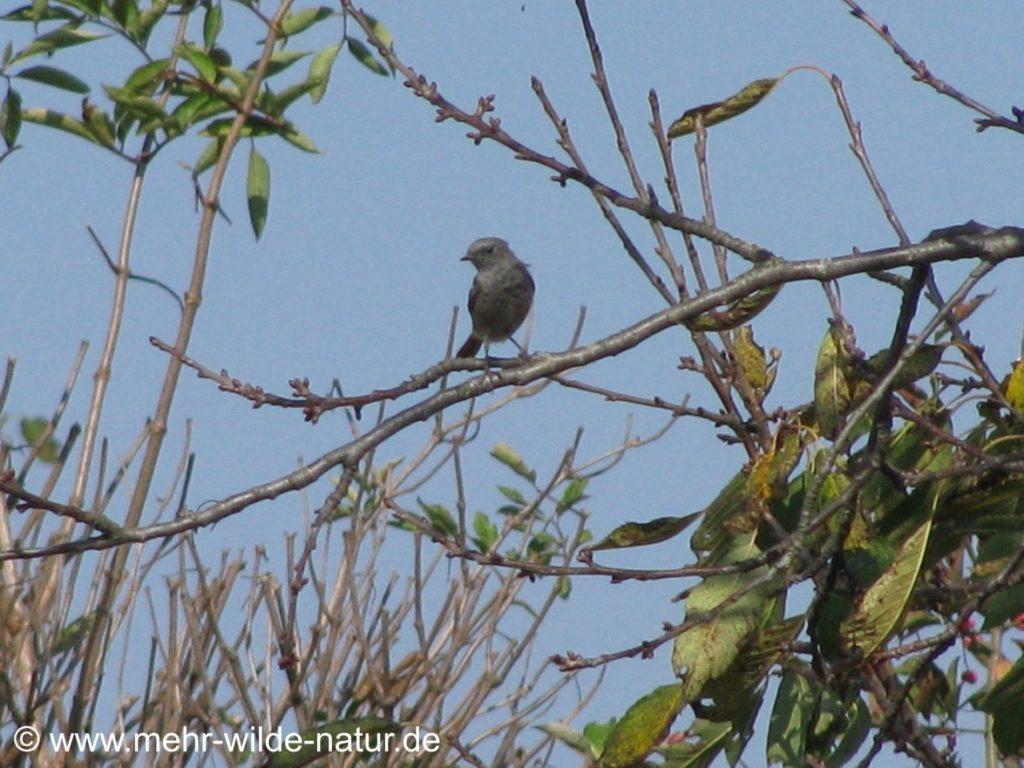 Ein Vogel am Feldrand bei meiner Wanderung auf den Rödel bei Großwilsdorf ein Lied