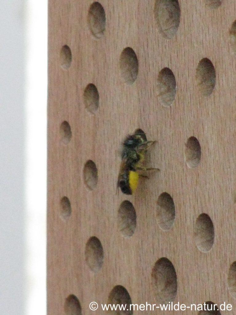 Einzug der Wildbienen in die neu aufgestellten Nisthilfen.