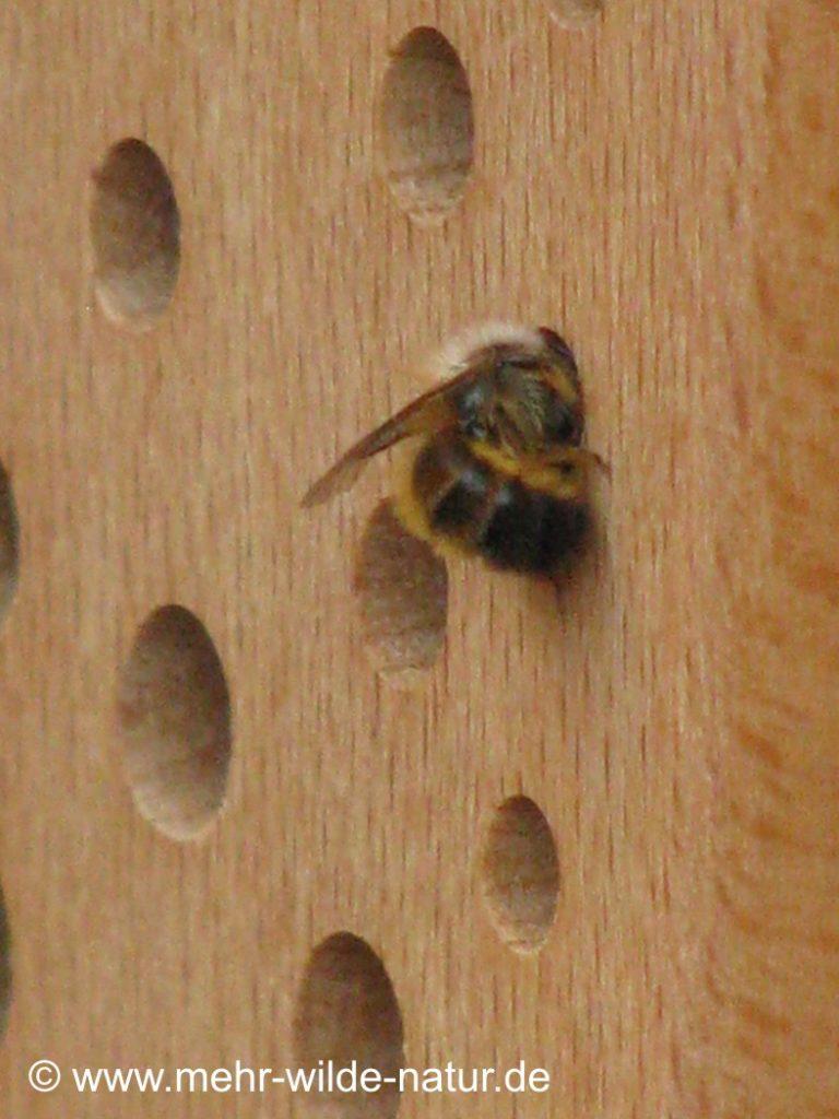Einzug der ersten Wildbienen in die neuen Nisthilfen.