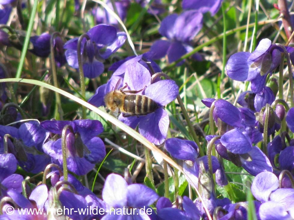 Eine Wildbiene sammelt ebenfalls Pollen an den Veilchenblüten.