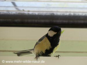 Unermüdlich fliegen die Kohlmeiseneltern Futter für ihre Küken heran.