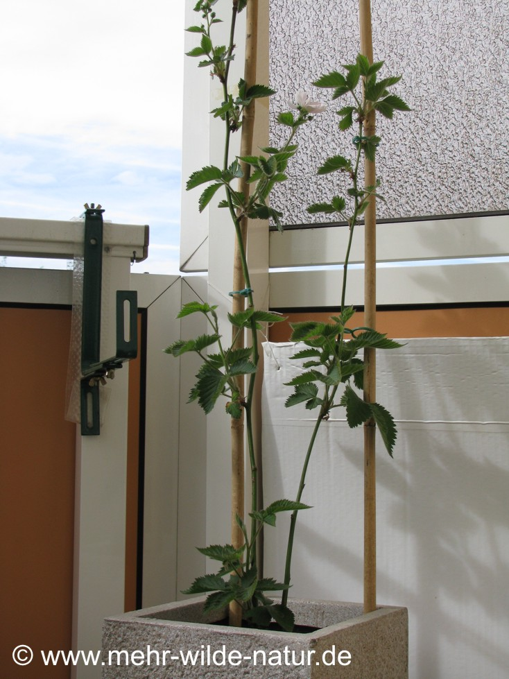Brombeere Navaho, frisch eingepflanzt.
