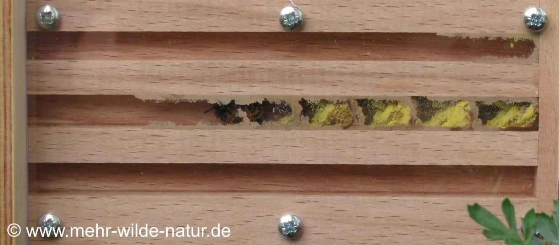 Blick in eine Beobachtungsnisthilfe für Wildbienen