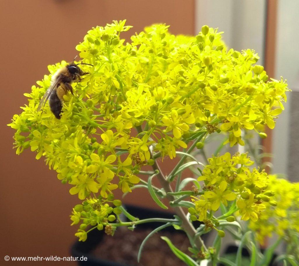 Eine Biene an der Färberweid auf meinem Balkon