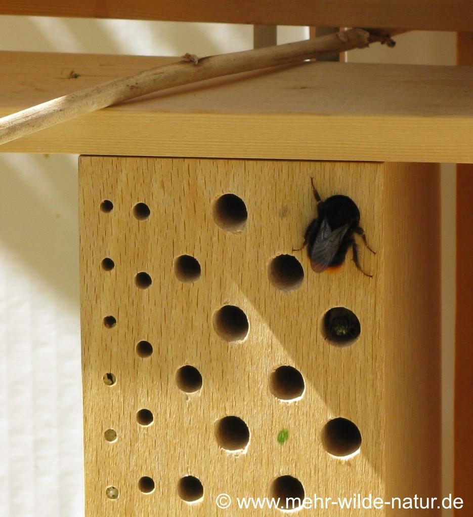 Hier besucht eine Steinhummel einen Nistgang der Wildbienennisthilfen. Im Nistgang darunter sitzt eine Wildbiene.