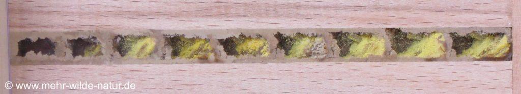 Ein Nistgang voller Brutzellen einer Mauerbiene