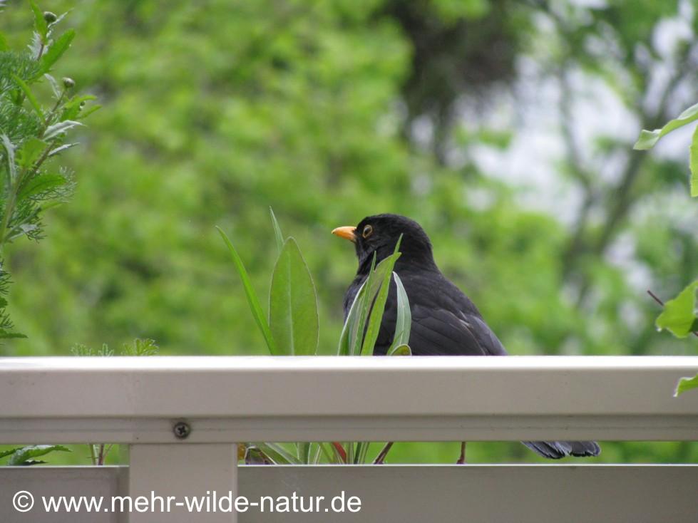 Herr Amsel ist erstmalig zu Besuch auf meinem Balkon.