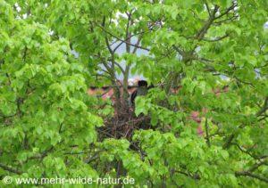 Die Ringeltauben bauen ein neues Nest in der Linde vorm Balkon.