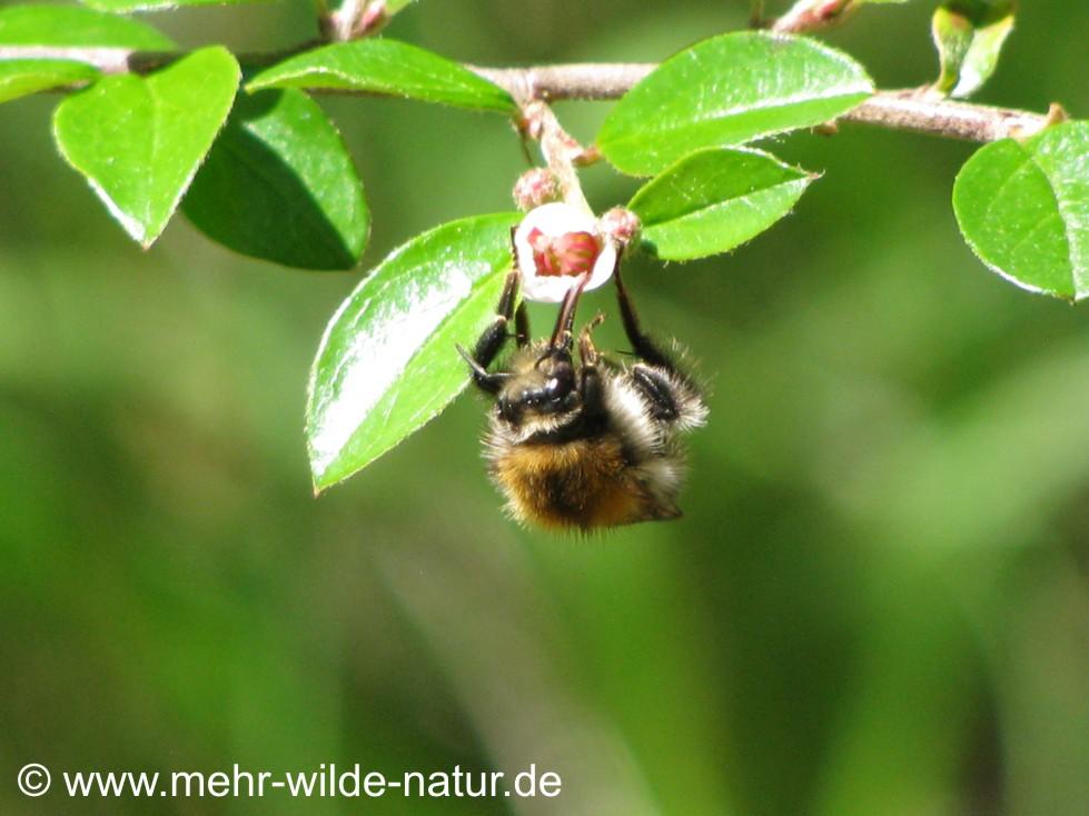 Eine Ackerhummel tankt Blütennektar auf