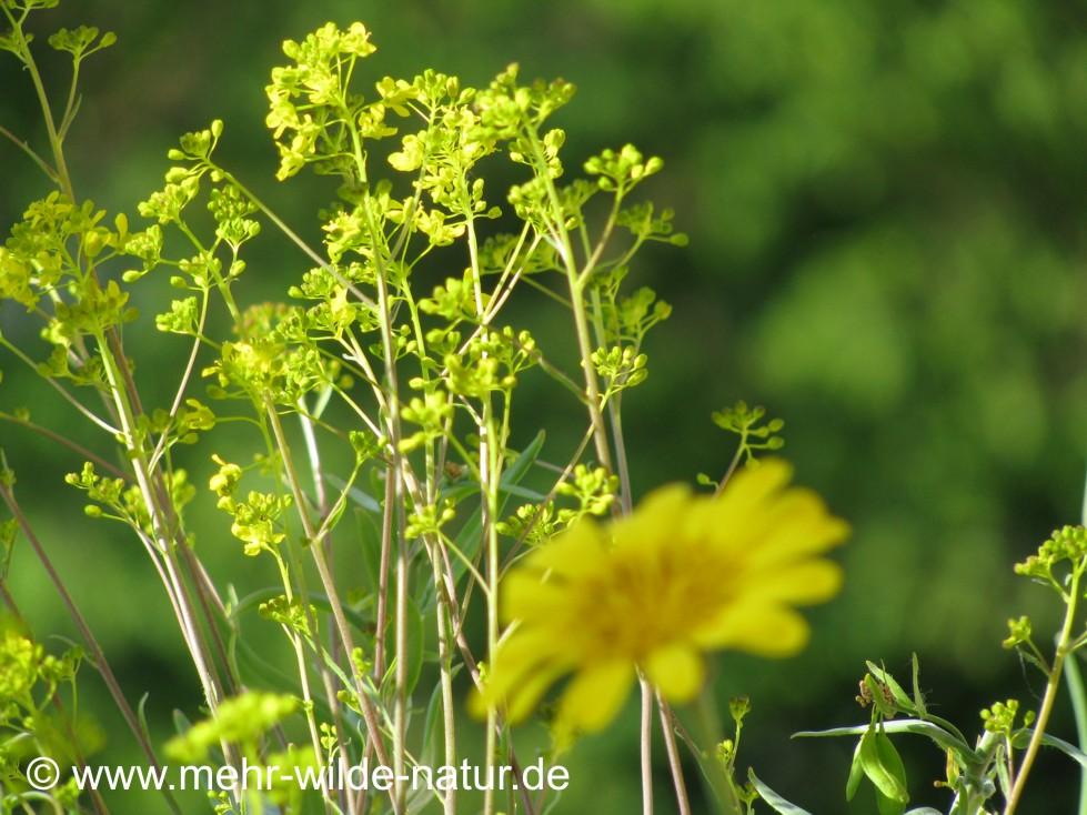 Hier die unzähligen kleinen Blüten des Färberwaids.