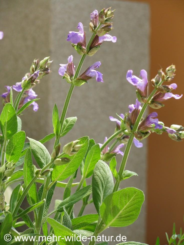 Der Salbei blüht wunderschön im Mai.