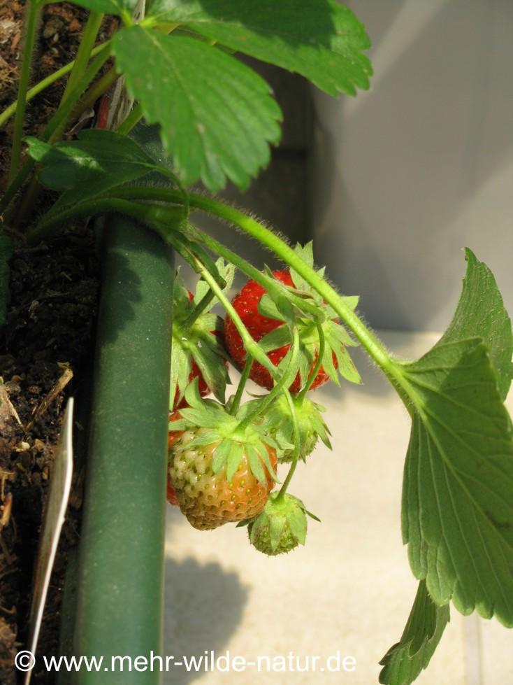 Im Mai reifen schon die Erdbeeren.