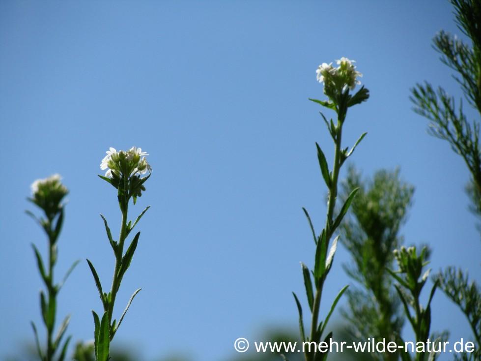 Die Graukresse beginnt zu blühen im Mai.