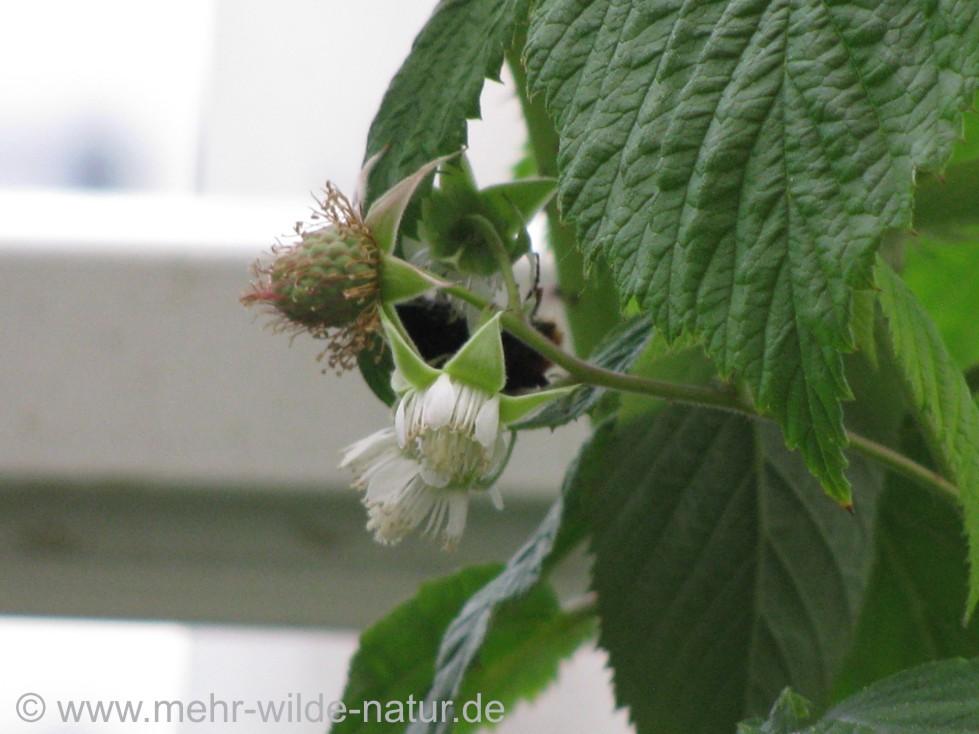 Die Himbeere hat sowohl Früchte als auch neue Blüten.