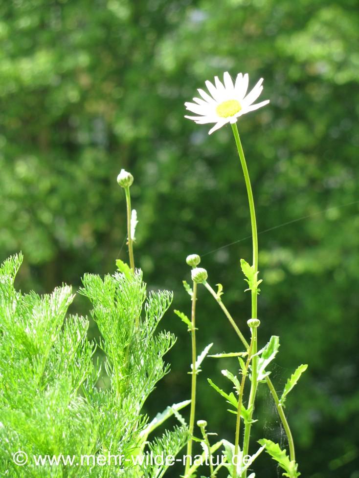Die erste Margerite blüht im Mai.