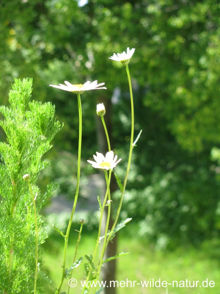 Weitere Margeriten-Blüten sind aufgegangen.