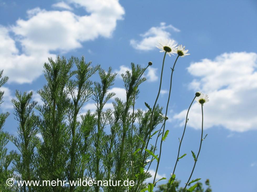 Inzwischen sind es vier Margeriten-Blüten.