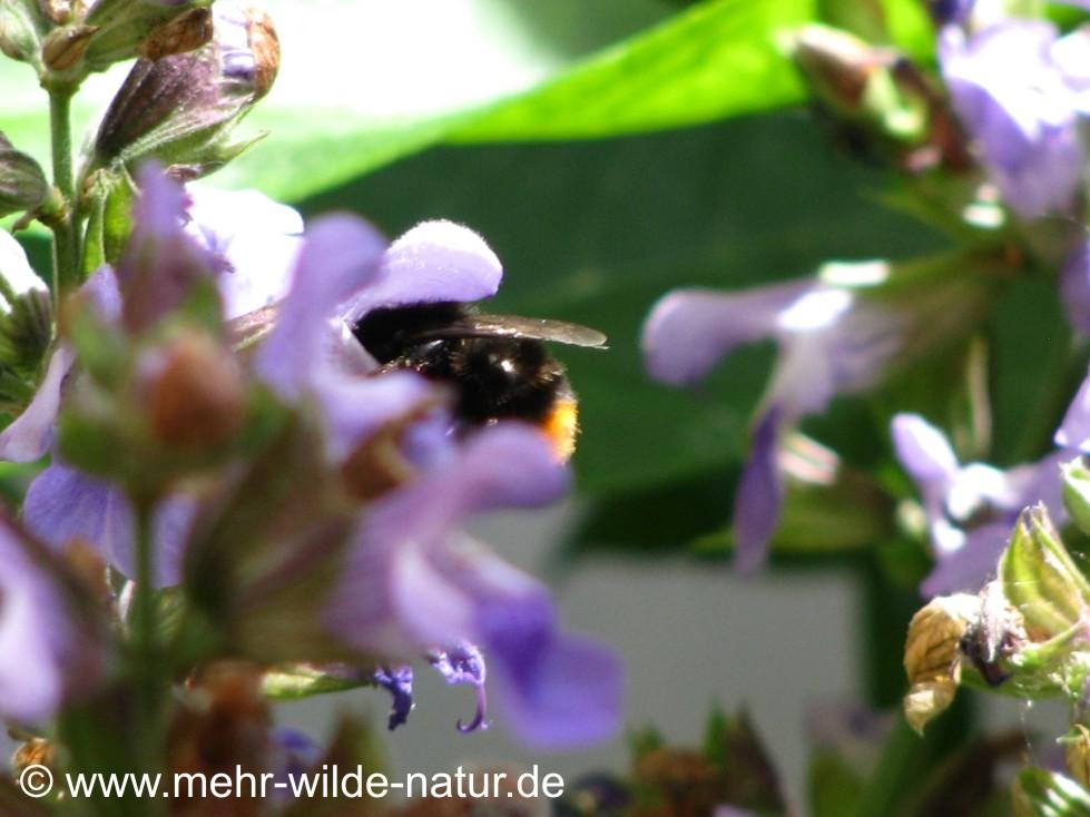 Eine Steinhummel kriecht regelrecht in den Blütenkelch.