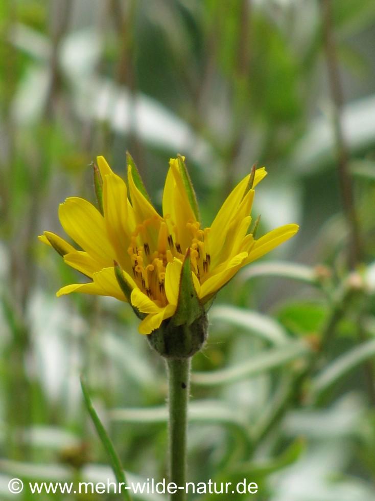 Der Wiesenbocksbart öffnet seine erste Blüte.