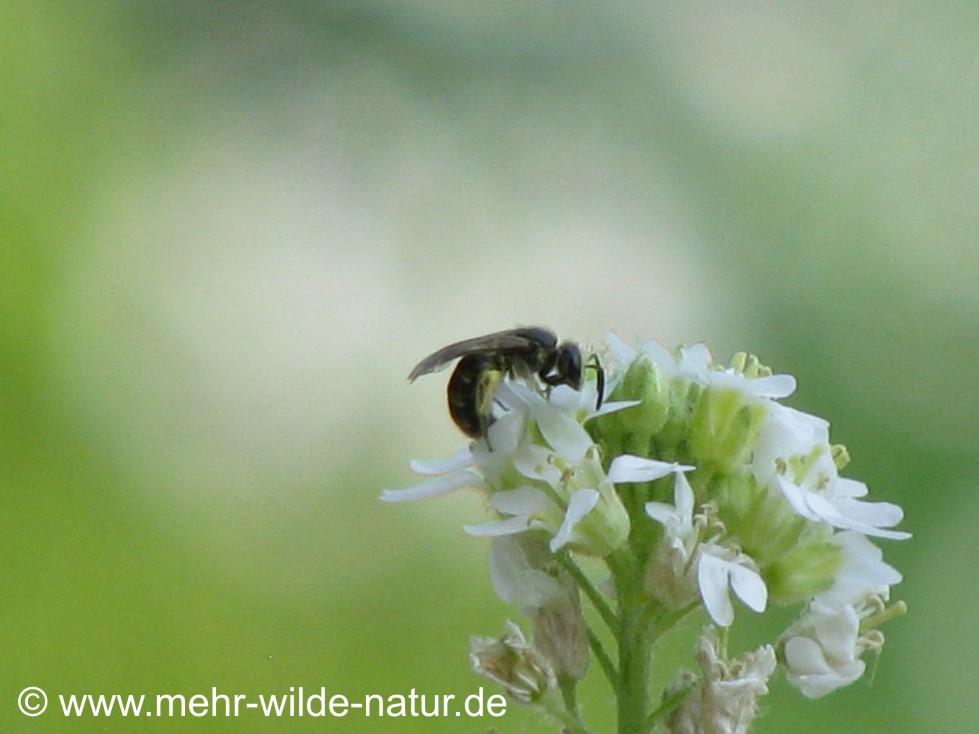 Furchenbiene an den Graukresseblüten