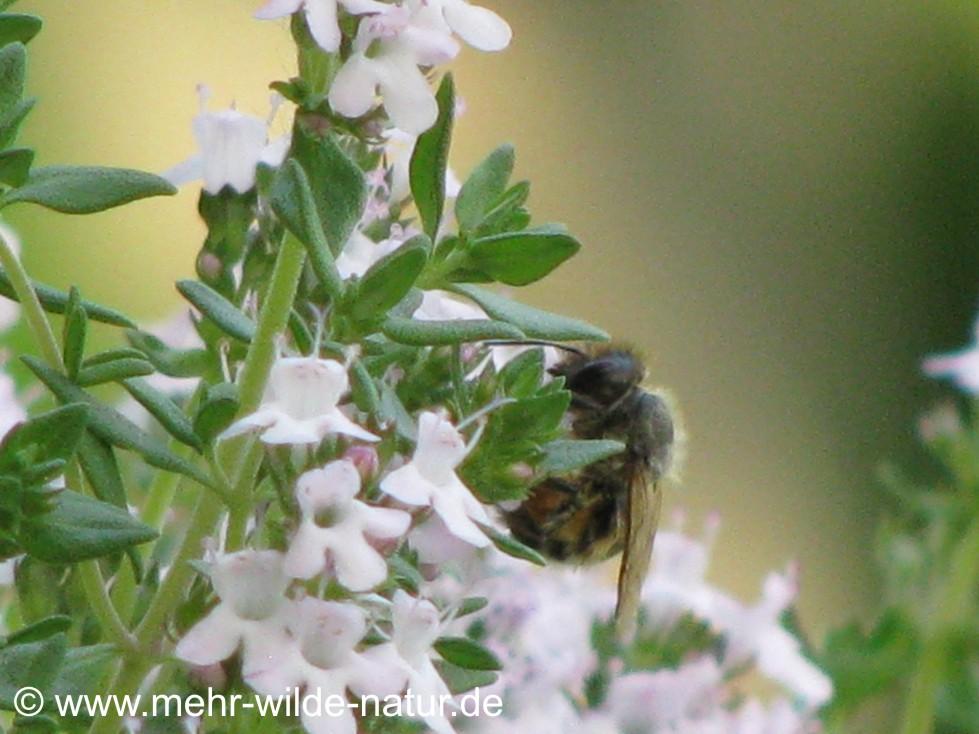 Furchenbiene an den Thymianblüten