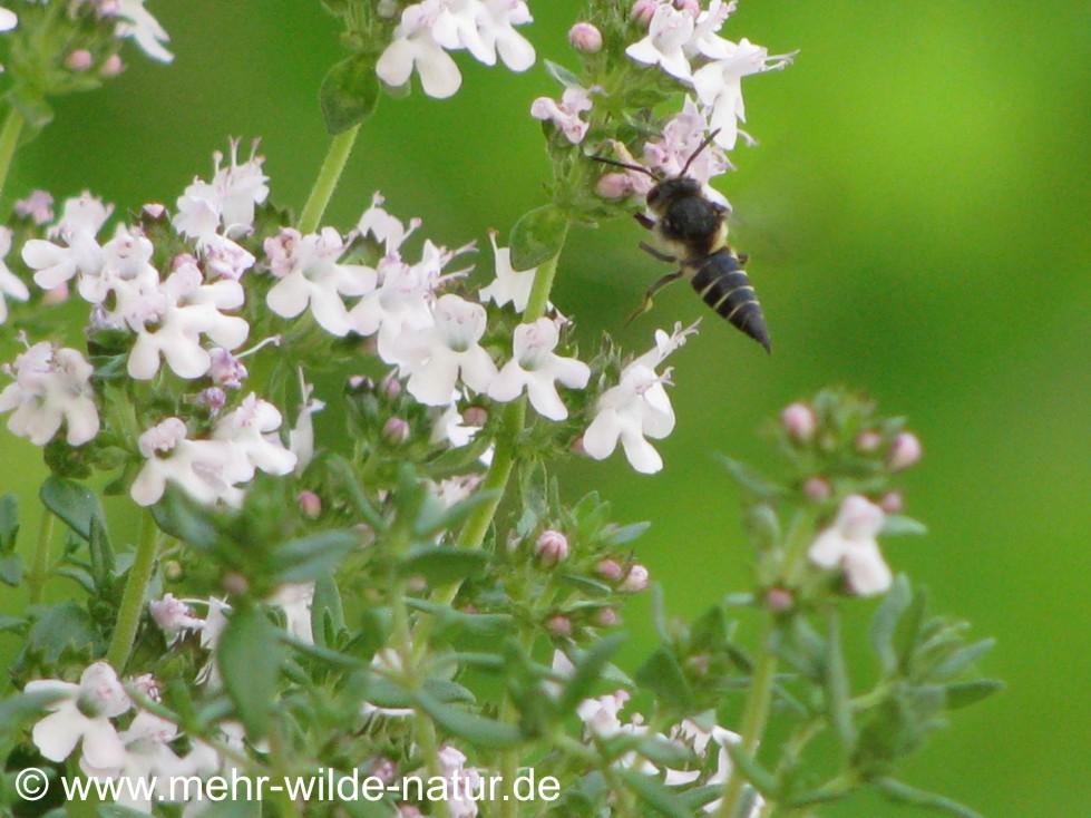 Kegelbiene an Thymianblüten