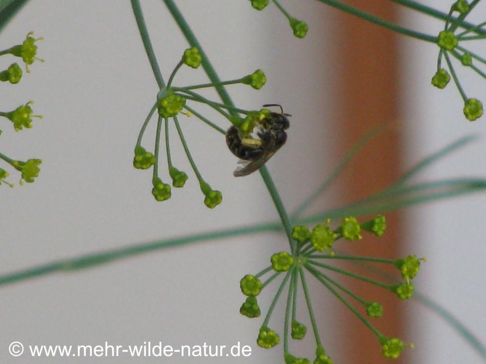 Furchenbiene an den Dillblüten