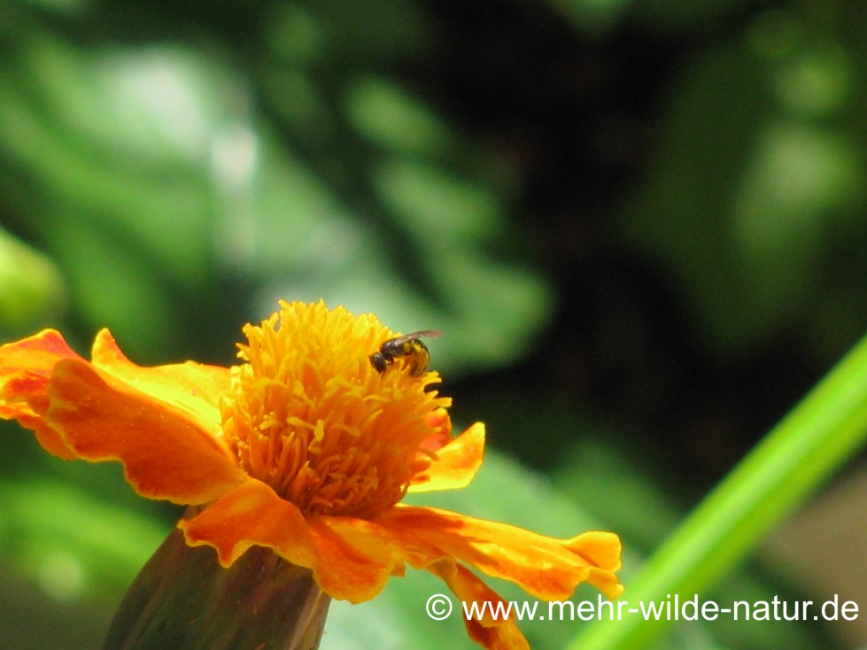 Furchenbiene an einer Tagetesblüte
