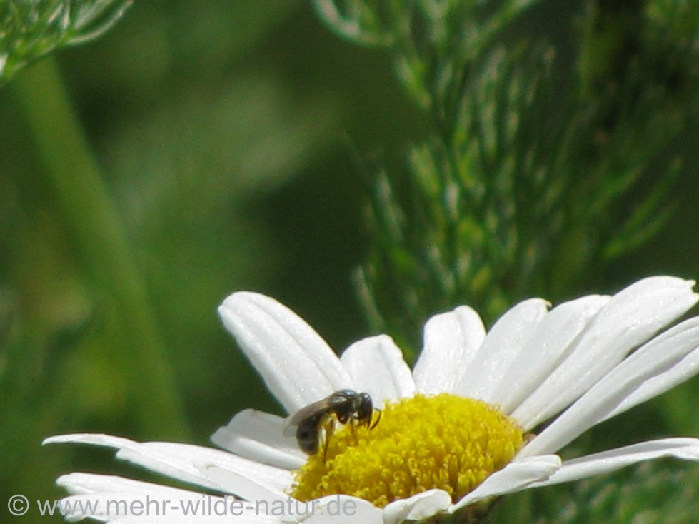 Furchenbiene an einer Margeritenblüte