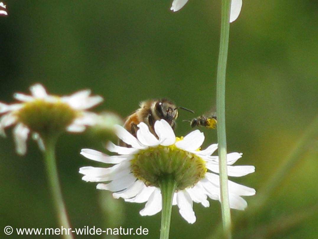Hier treffen sich eine Honigbiene und eine Furchenbiene an einer Kamillenblüte auf meinem Balkon