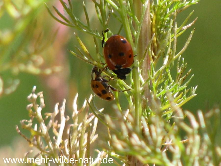 Ein Siebenpunkt-Marienkäfer und ein Asiatischer Marienkäfer an der Kamille, an der einige Tage zuvor noch eine große Blattlauskolonie saß.