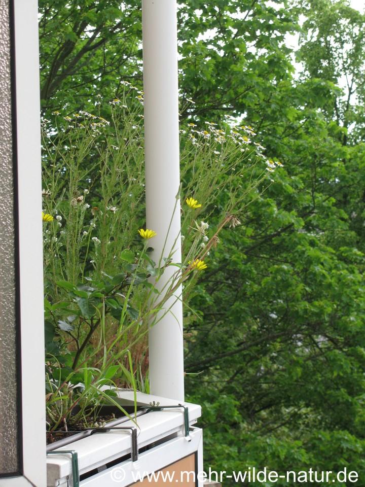 Wildblumen im Balkonkasten - hier blühen Graukresse, Kamille und Wiesenbocksbart.