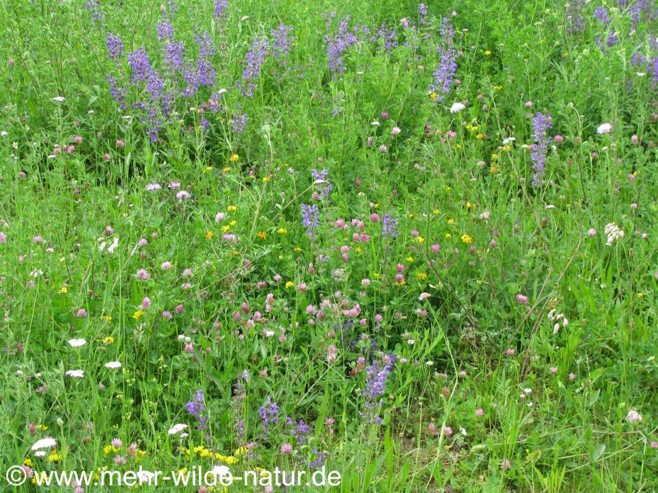 Eine kleine Wildblumenwiese in Jena-Nord