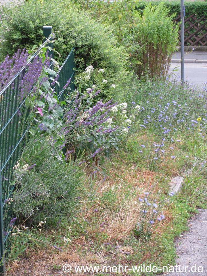Eine wunderschöne wilde Ecke in meiner Nähe mit Königskerzen, Wegwarten, Lavendel. Diese kleine blühende Ecke ist ein wahrer Hummel- und Bienenmagnet. Es hat Spaß gemacht, dem emsigen Treiben zuzuschauen.