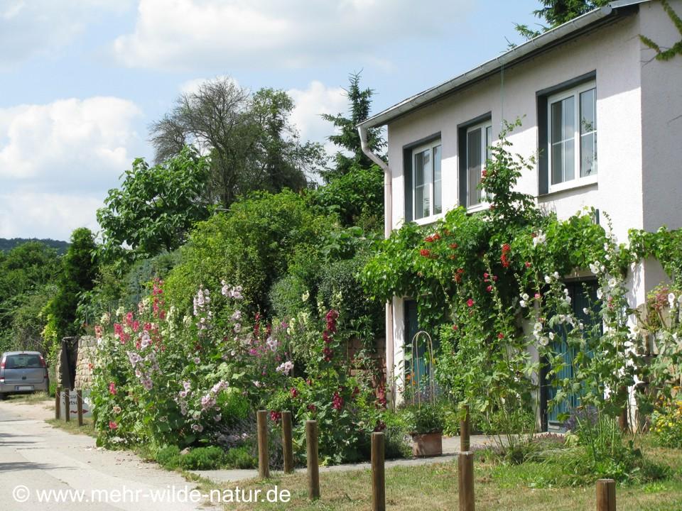 Ein kleiner wilder Vorgarten im Blütengrund bei Naumburg/Saale. Hier wächst ein Weinstock am Haus und viele verschiedenfarbige Stockrosen davor.