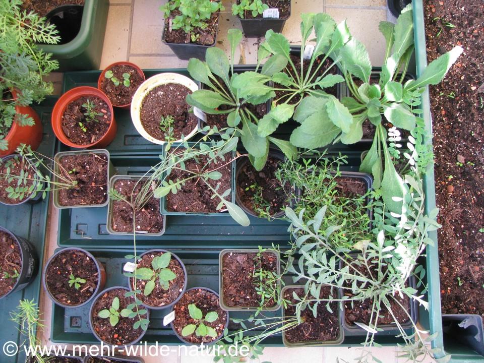 selbstgezogene Pflanzen auf meinem Balkon als Auswahl für die Baumscheibenbepflanzung