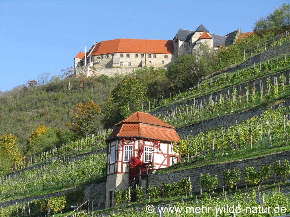 Herzoglicher Weinberg und Neuenburg in Freyburg.