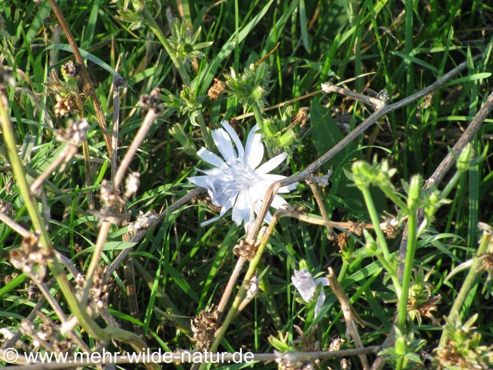 Wegwarte mit weißen Blüten