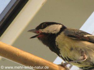 Mama Meise kurz vorm Ausflug der Nestlinge der zweiten Brut.