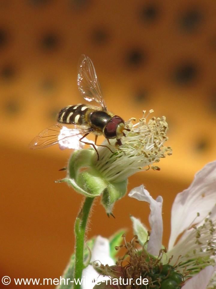 Schwebfliege an Brombeerblüte