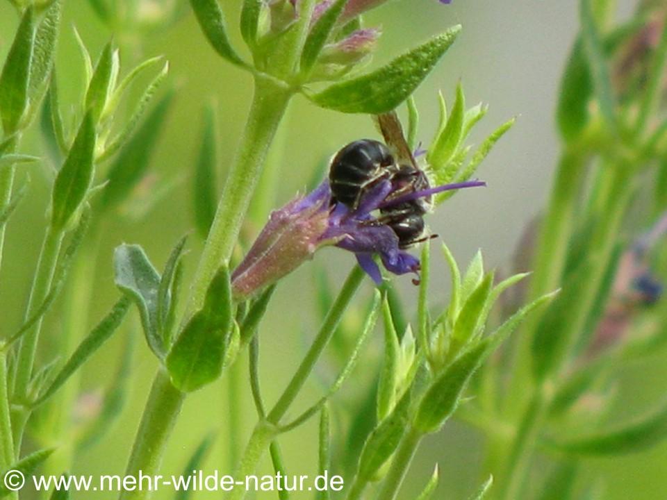 Gemeine Löcherbiene an blauer Ysop-Blüte