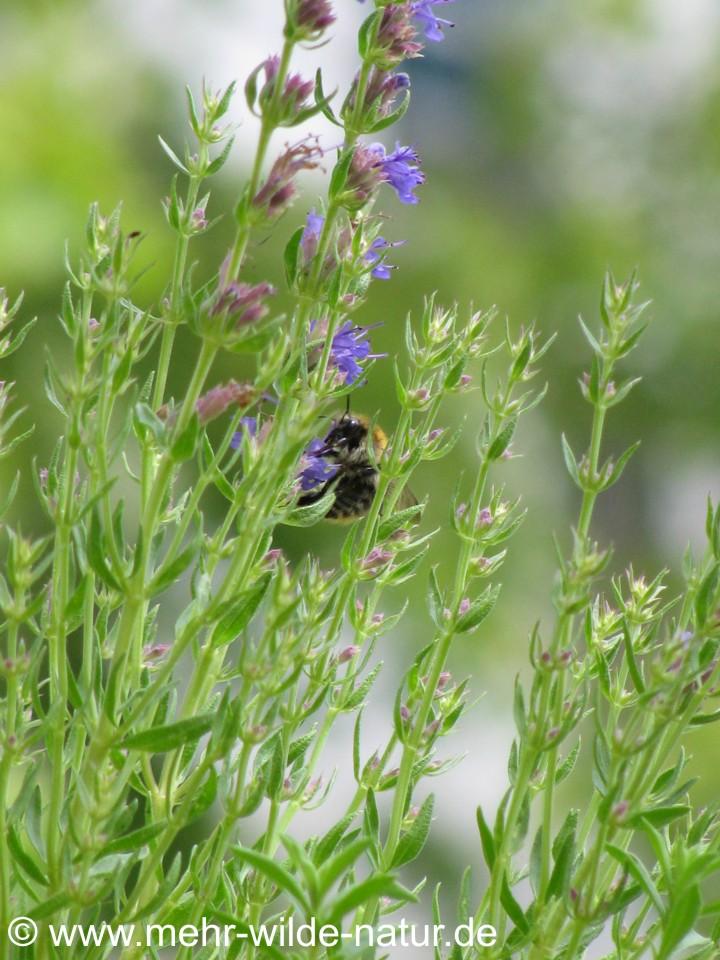 Ackerhummel an blauer Ysop-Blüte