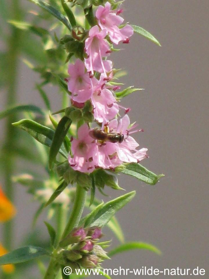 Wildbiene an den Blüten des rosa Ysop