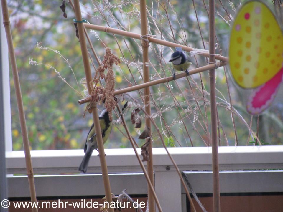 Kohlmeise und Blaumeise auf dem Balkon.