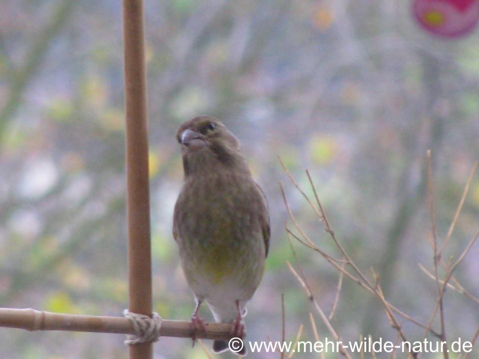 Ein Grünfink-Weibchen ist zum ersten Mal auf meinem Balkon.